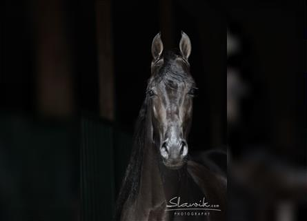 Tennessee Walking Horse, Hengst, 15 Jahre, 160 cm, Rappe