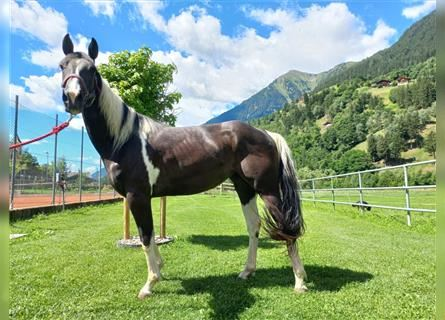 Paint Horse, Mare, 3 years, 14.2 hh, Tobiano-all-colors