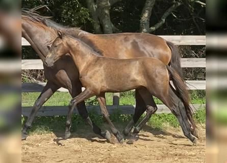 Andalusier, Hengst, 1 Jahr, Rappe