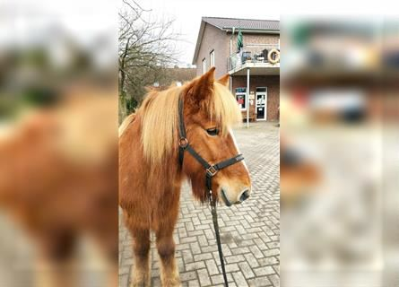 Icelandic Horse, Mare, 12 years, 14.1 hh, Chestnut-Red