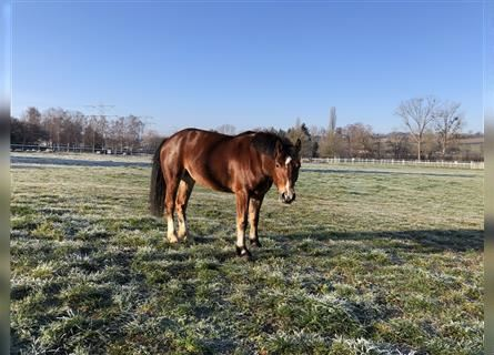 Freiberger, Mare, 3 years, 15.1 hh, Brown