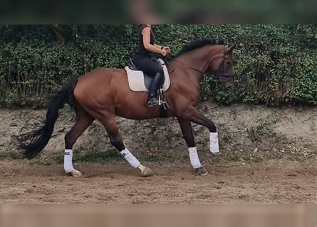 KWPN, Mare, 12 years, 17.3 hh, Brown