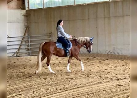 German Riding Pony, Mare, 9 years, 14.1 hh, Chestnut