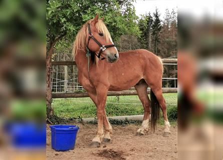 Mustang (american), Gelding, 4 years, 14.1 hh, Chestnut-Red