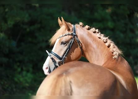 German Riding Pony, Mare, 3 years, 14 hh, Chestnut