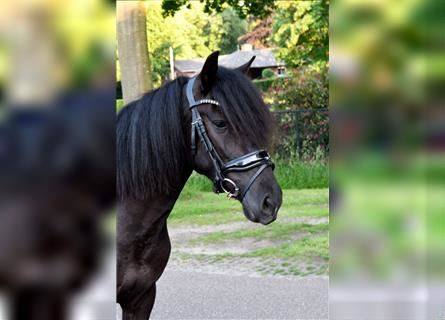 Other Heavy Horses, Mare, 3 years, 13 hh, Black