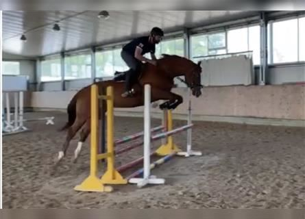 German Sport Horse, Mare, 4 years, 16.2 hh, Chestnut-Red