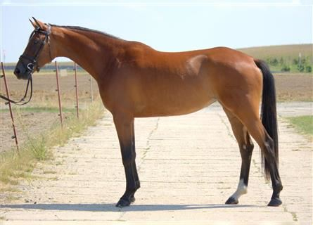 German Sport Horse, Mare, 4 years, 16.1 hh, Brown