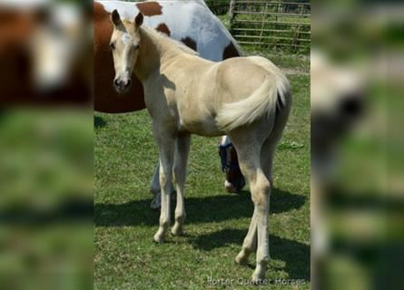 Paint Horse, Mare, Foal (06/2021), Palomino