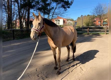 KWPN, Mare, 10 years, 16.1 hh, Champagne
