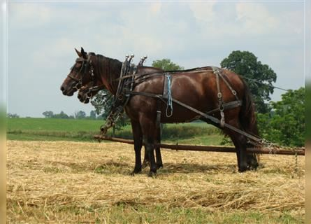 Quarter Horse, Mare, 9 years, 15.1 hh, Bay