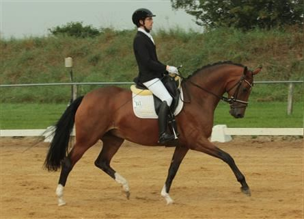 Hanoverian, Mare, 5 years, 16 hh, Brown