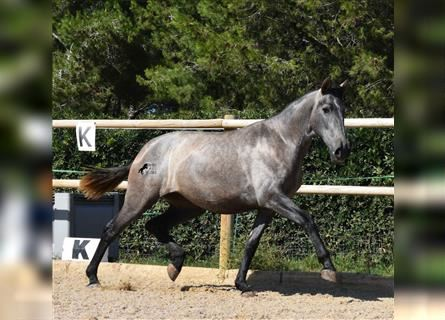 Andalusian, Mare, 2 years, 16.1 hh, Gray
