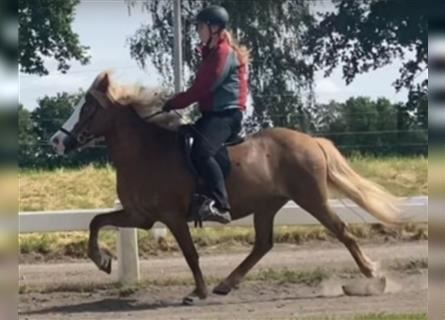 Icelandic Horse, Mare, 9 years, Chestnut-Red