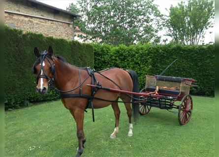 Straight Egyptian, Mare, 17 years, 14.1 hh, Chestnut