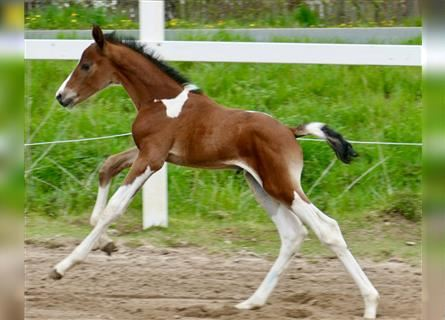 Other Warmbloods, Stallion, Foal (04/2021), 16.1 hh, Pinto