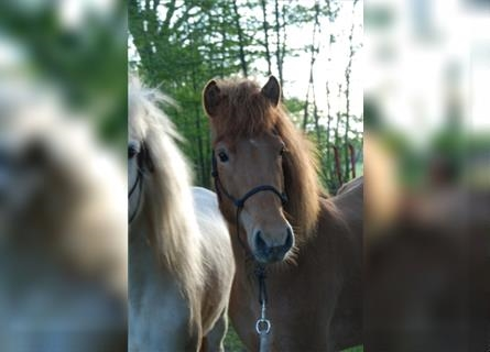 Icelandic Horse, Mare, 5 years, Chestnut-Red