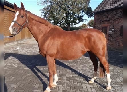 Hanoverian, Mare, 13 years, 16 hh, Chestnut-Red