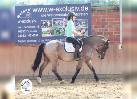 Other Warmbloods Mix, Gelding, 7 years, 15 hh, Roan-Red