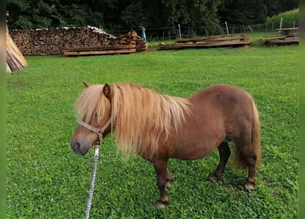 Shetland Ponies, Mare, 11 years, 9.1 hh, Chestnut