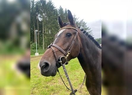 Hanoverian, Mare, 5 years, 15.3 hh, Brown