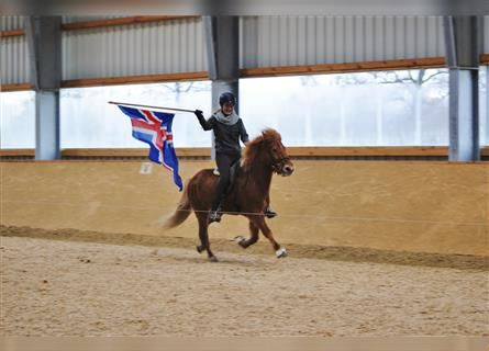 Icelandic Horse, Mare, 20 years, 13.2 hh, Chestnut-Red