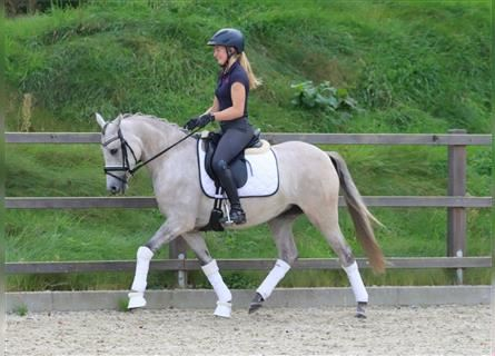 German Riding Pony, Mare, 4 years, 14.1 hh, Brown Falb mold