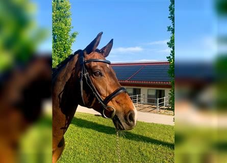 German Sport Horse, Mare, 11 years, 16 hh, Brown