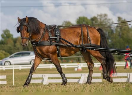 Other Breeds, Stallion, 8 years, 14 hh, Bay