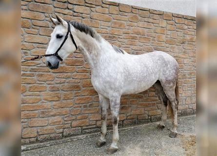 Other Breeds Mix, Gelding, 9 years, Gray