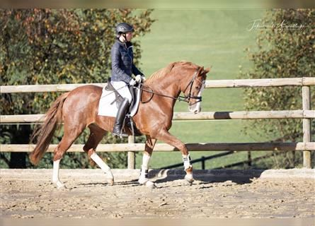 German Riding Pony, Mare, 4 years, 15.2 hh, Chestnut-Red