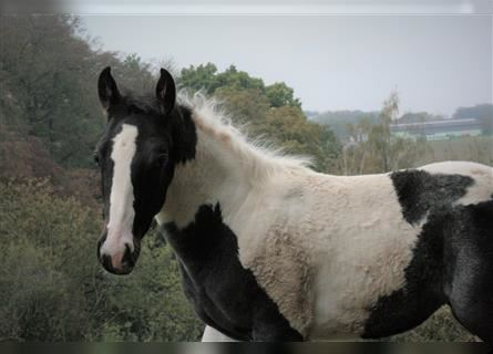 Paint Horse, Mare, 1 year, Tobiano-all-colors