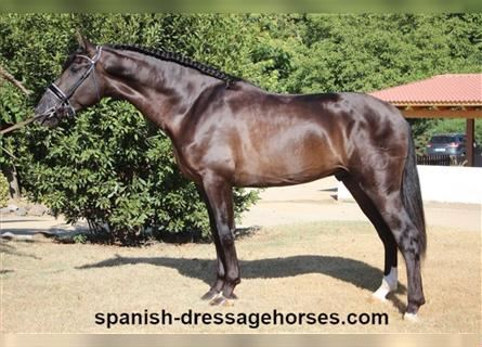 Andalusier, Hengst, 3 Jahre, 160 cm, Rappe