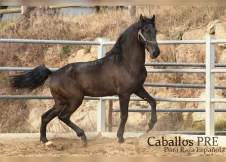 Andalusier, Hengst, 4 Jahre, 160 cm, Rappe