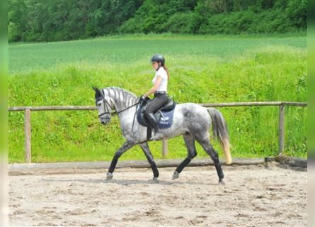 Andalusian, Gelding, 7 years, 15.2 hh, Gray