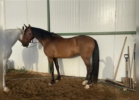 Andalusier Mix, Wallach, 14 Jahre, 160 cm, Rotbrauner