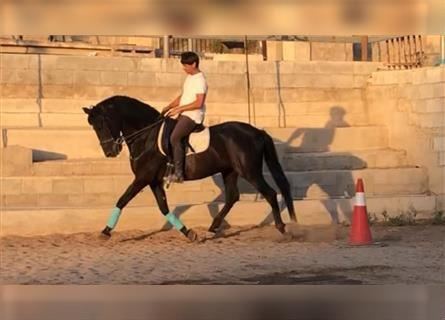 Andalusier, Wallach, 16 Jahre, 157 cm, Rappe