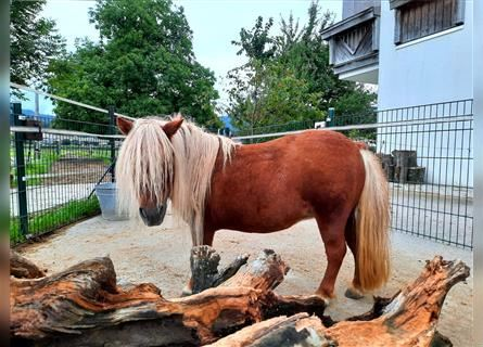 Shetland Ponies, Mare, 17 years, 7.3 hh, Chestnut-Red