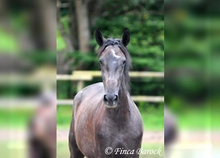 Andalusian, Mare, 2 years, 15.2 hh, Gray