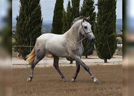Andalusian, Stallion, 2 years, 16 hh, Gray