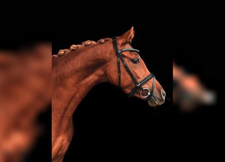 German Riding Pony, Mare, 3 years, 14.1 hh, Chestnut-Red