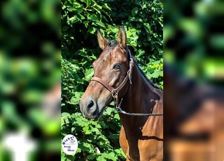 More ponies/small horses, Gelding, 14 years, 13.2 hh, Brown