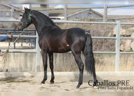 Andalusian, Stallion, 3 years, 16 hh, Black