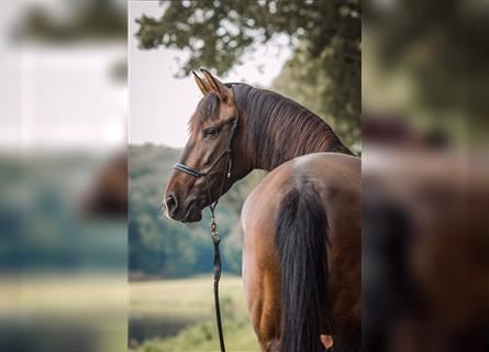 Andalusian, Mare, 8 years, 16 hh, Brown