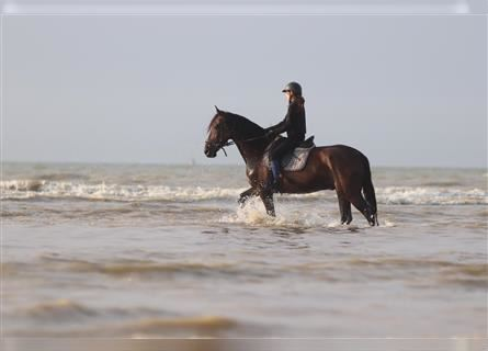 Andalusian Mix, Gelding, 8 years, 15.2 hh, Bay-Dark
