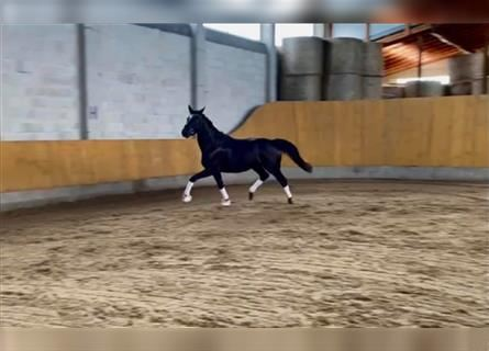 Other Warmbloods, Mare, 3 years, 16 hh, Black