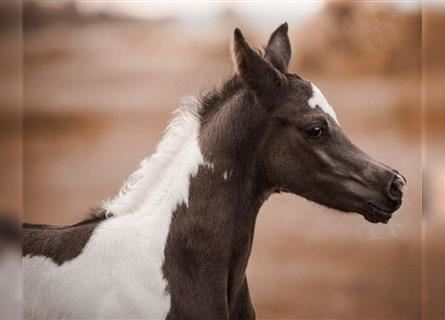 Arabian Partbred, Stallion, Foal (06/2021), Tobiano-all-colors