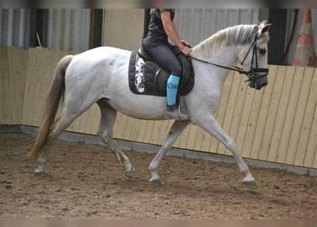 Other Breeds, Mare, 11 years, 14.2 hh, White