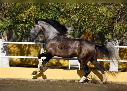 Andalusian, Stallion, 5 years, 17.1 hh, Gray