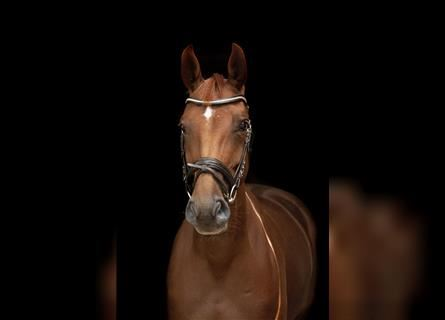Hanoverian, Mare, 8 years, 16.1 hh, Chestnut-Red